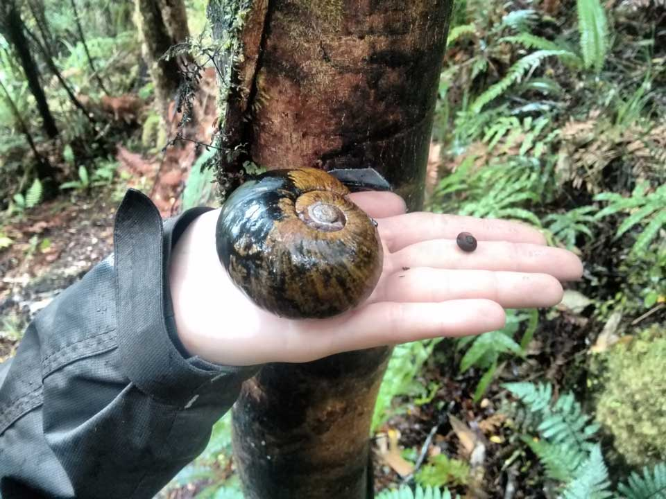 Adult and young kauri snail - pupurangi